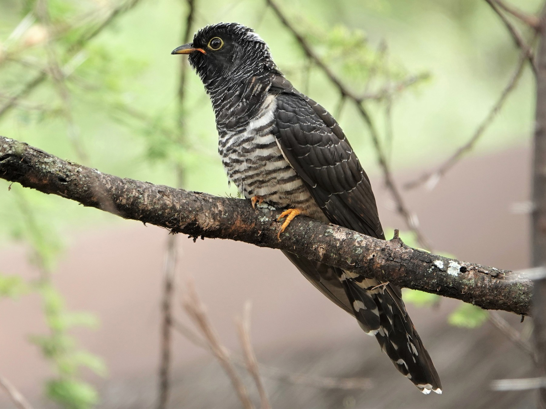 Red-chested Cuckoo - Karen Thompson