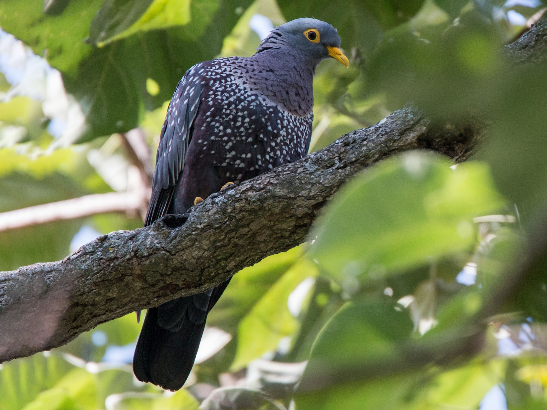 Rameron Pigeon - Ian Davies