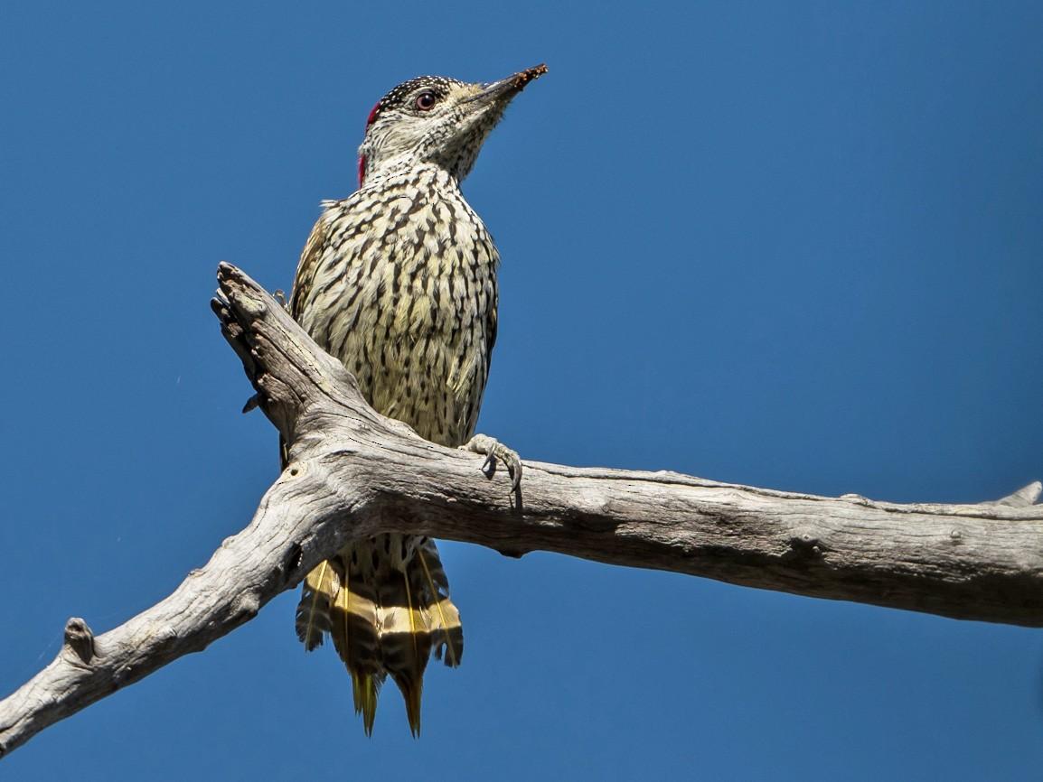 Golden-tailed Woodpecker - Joao Quental JQuental
