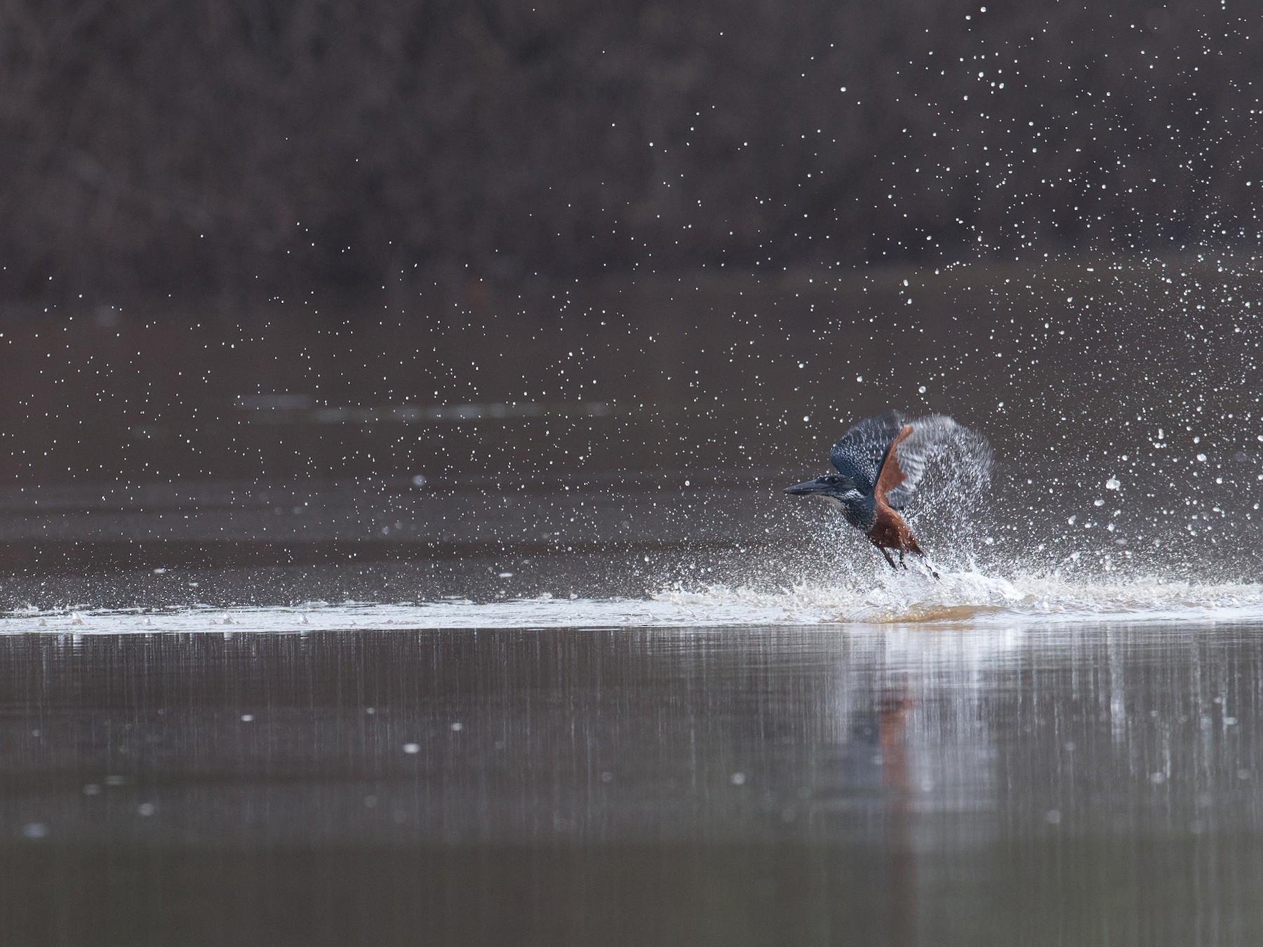 Giant Kingfisher - Chris Wood