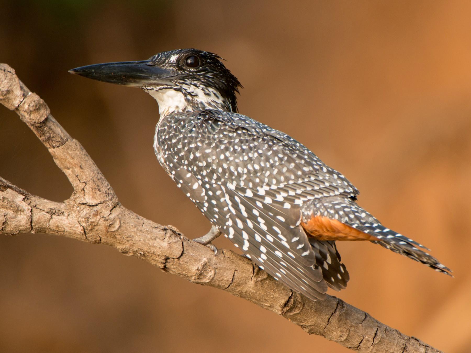 Giant Kingfisher - Eric van Poppel