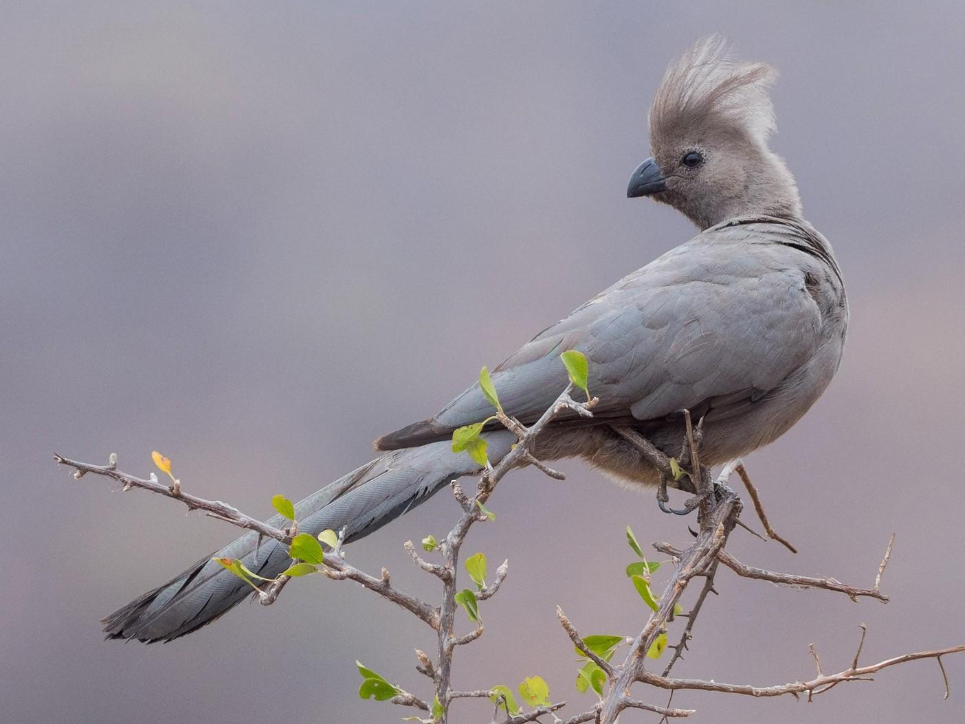 Gray Go-away-bird - Yeray Seminario