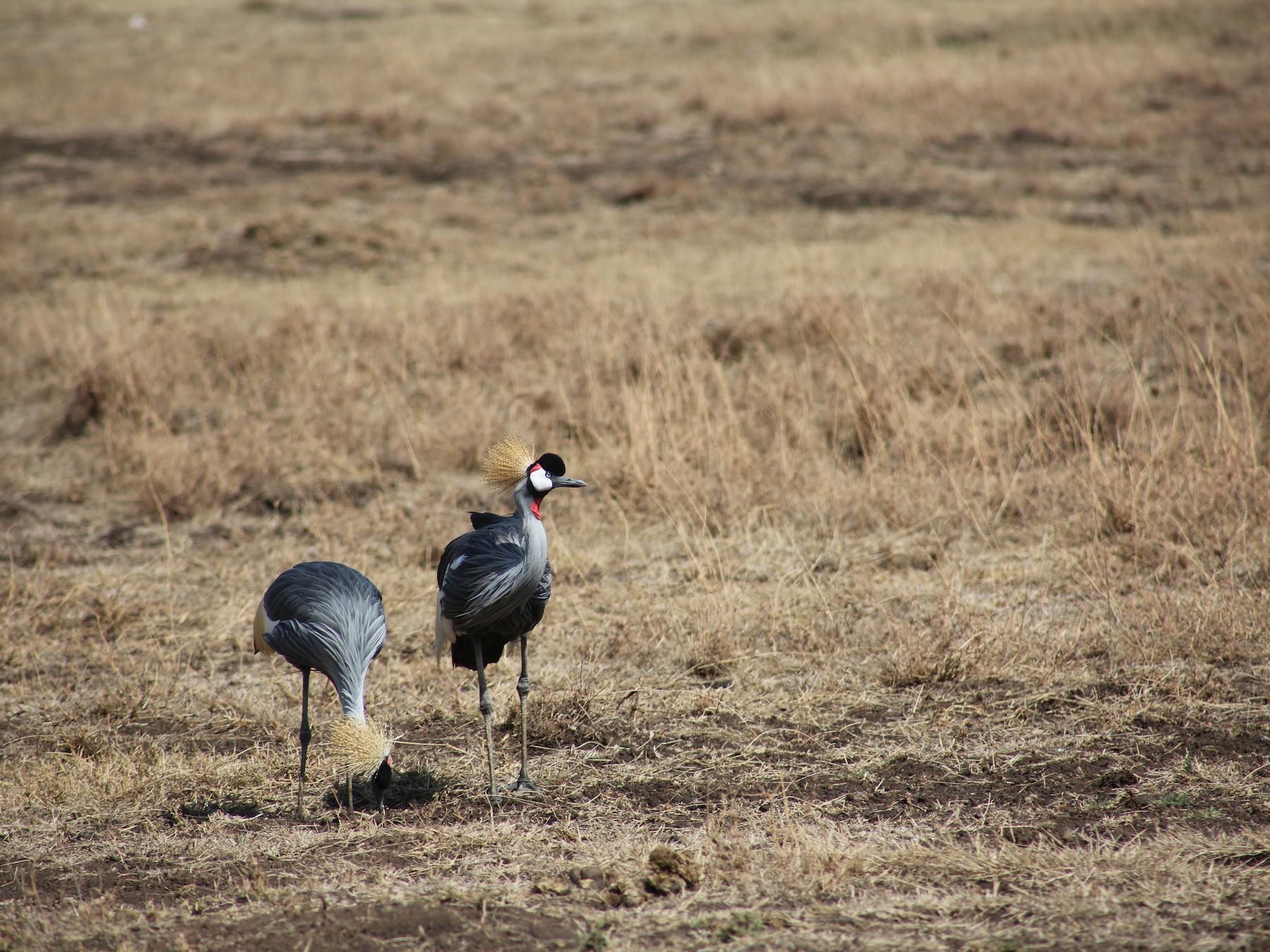 Gray Crowned-Crane - Morgan Van Peursem