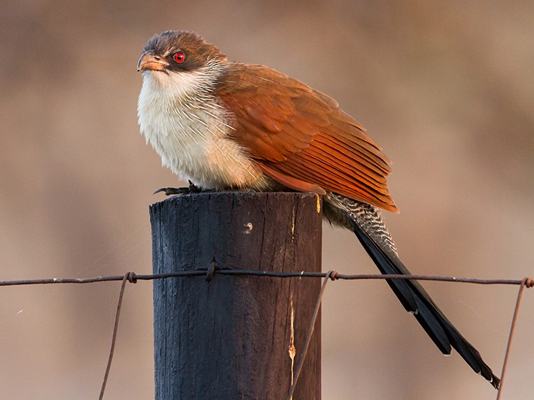 White-browed Coucal - Adam Riley