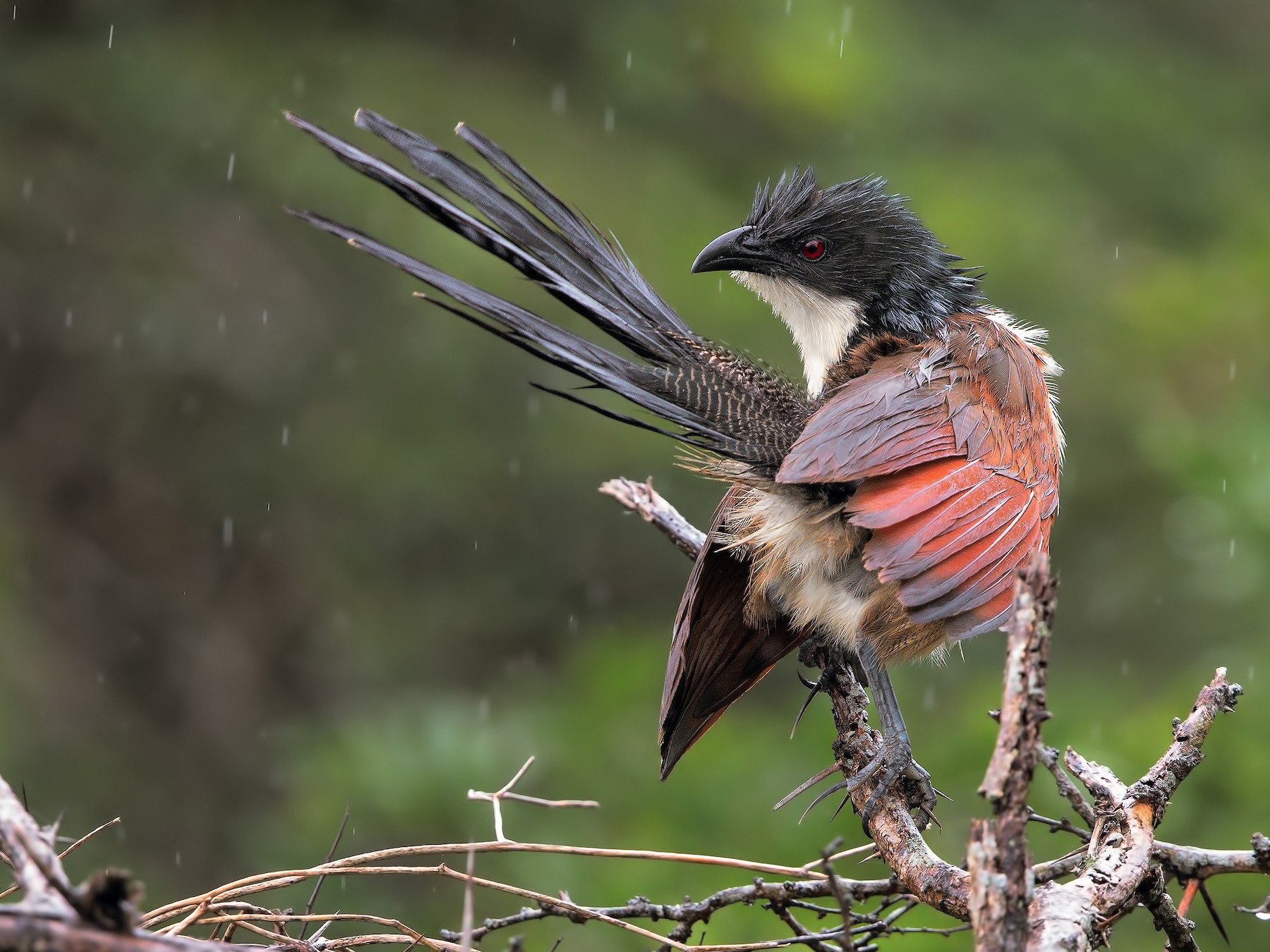 White-browed Coucal - Marco Valentini