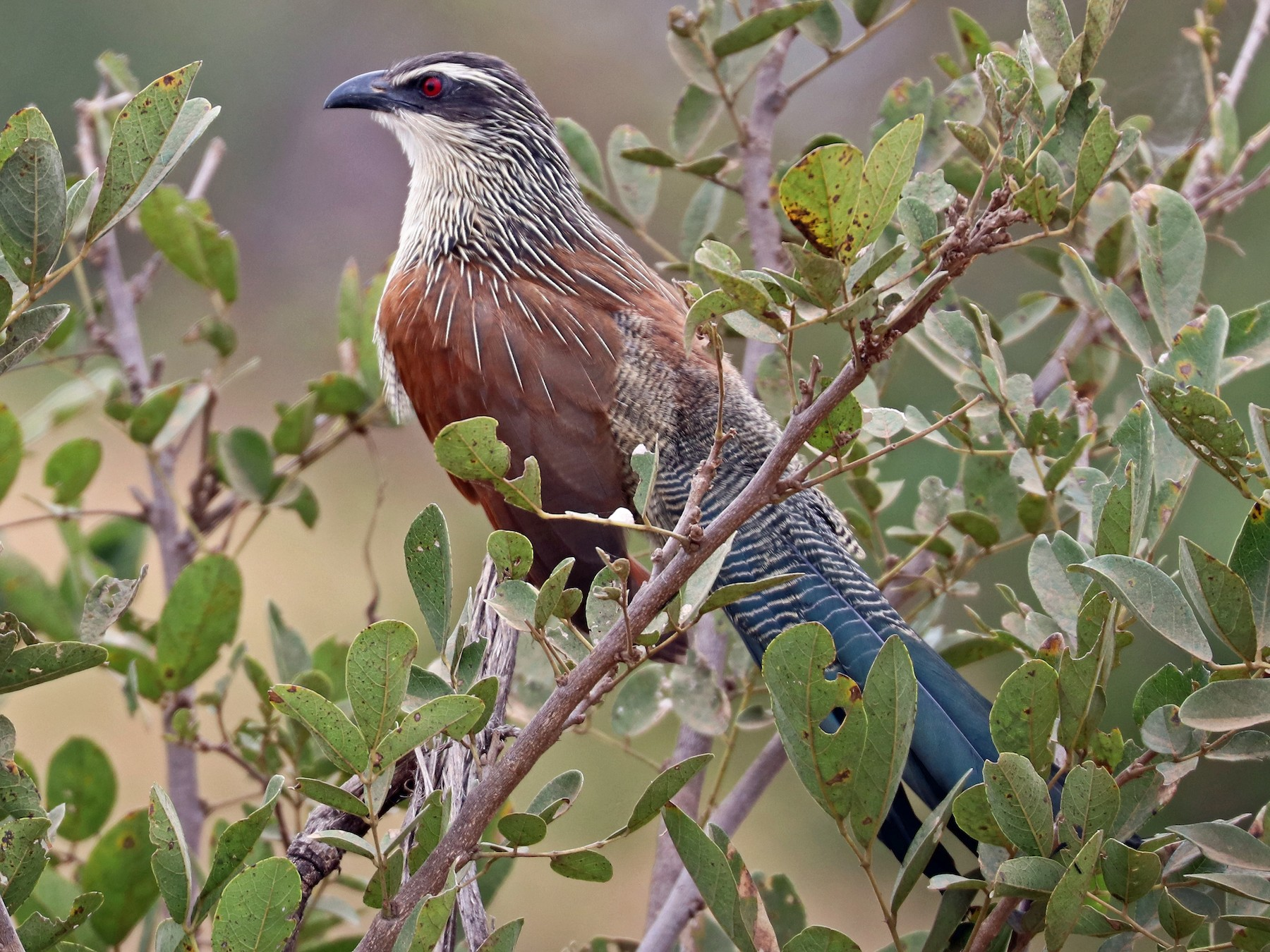 White-browed Coucal - Greg  Griffith