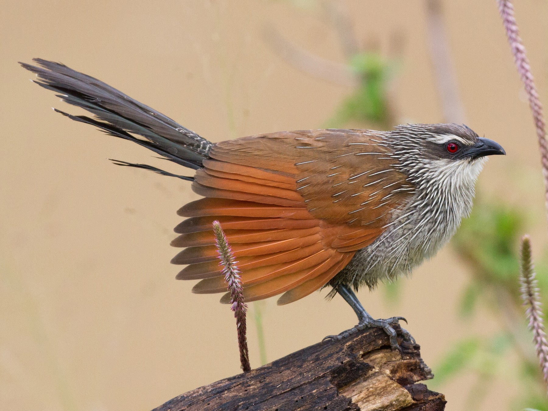 White-browed Coucal - Chris Sayers