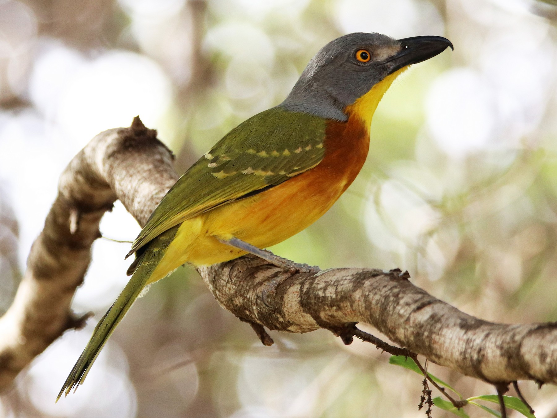 Gray-headed Bushshrike - James  Kashangaki
