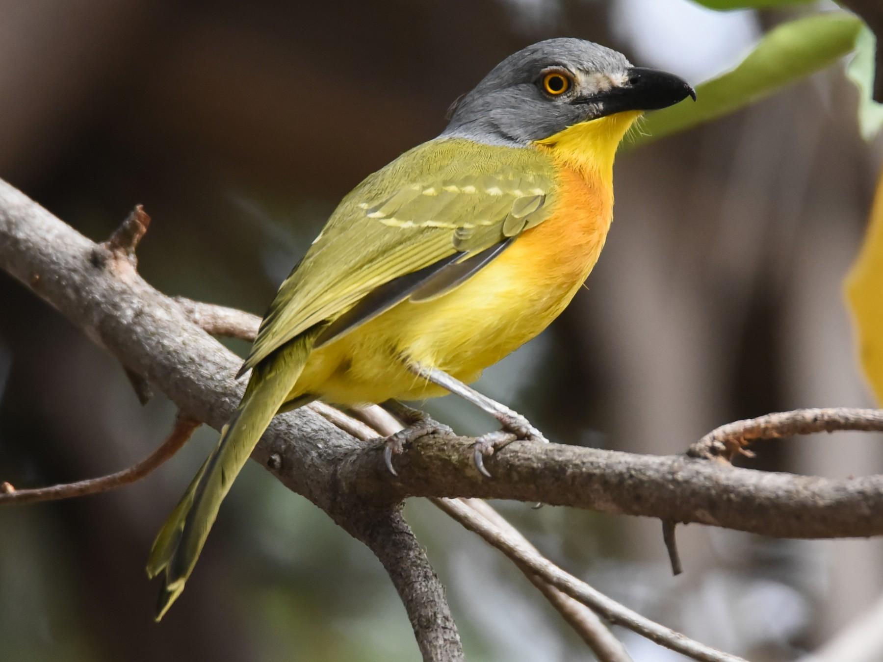 Gray-headed Bushshrike - Maryse Neukomm