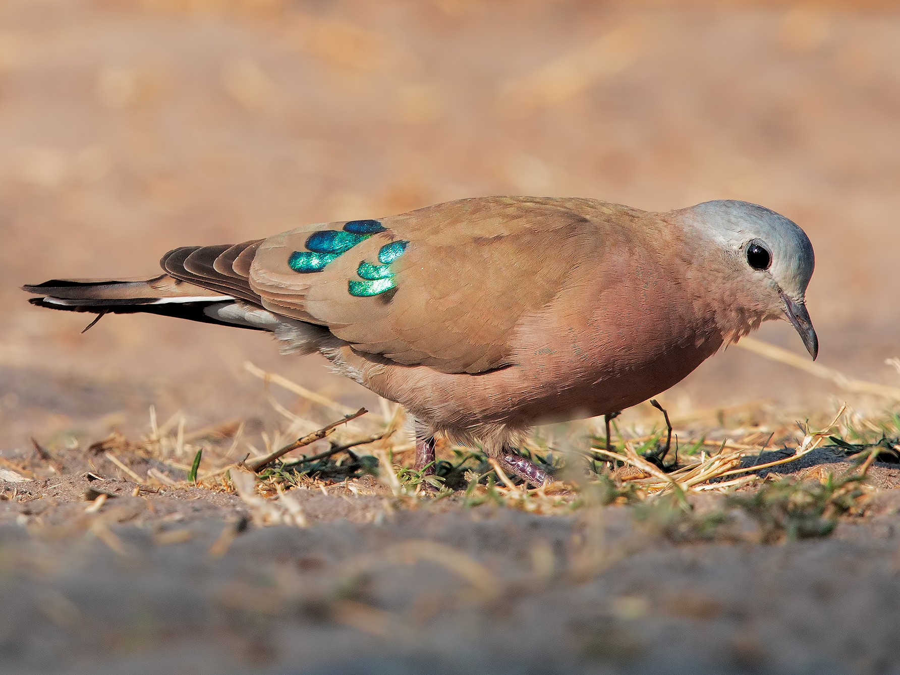 Emerald-spotted Wood-Dove - Marco Valentini