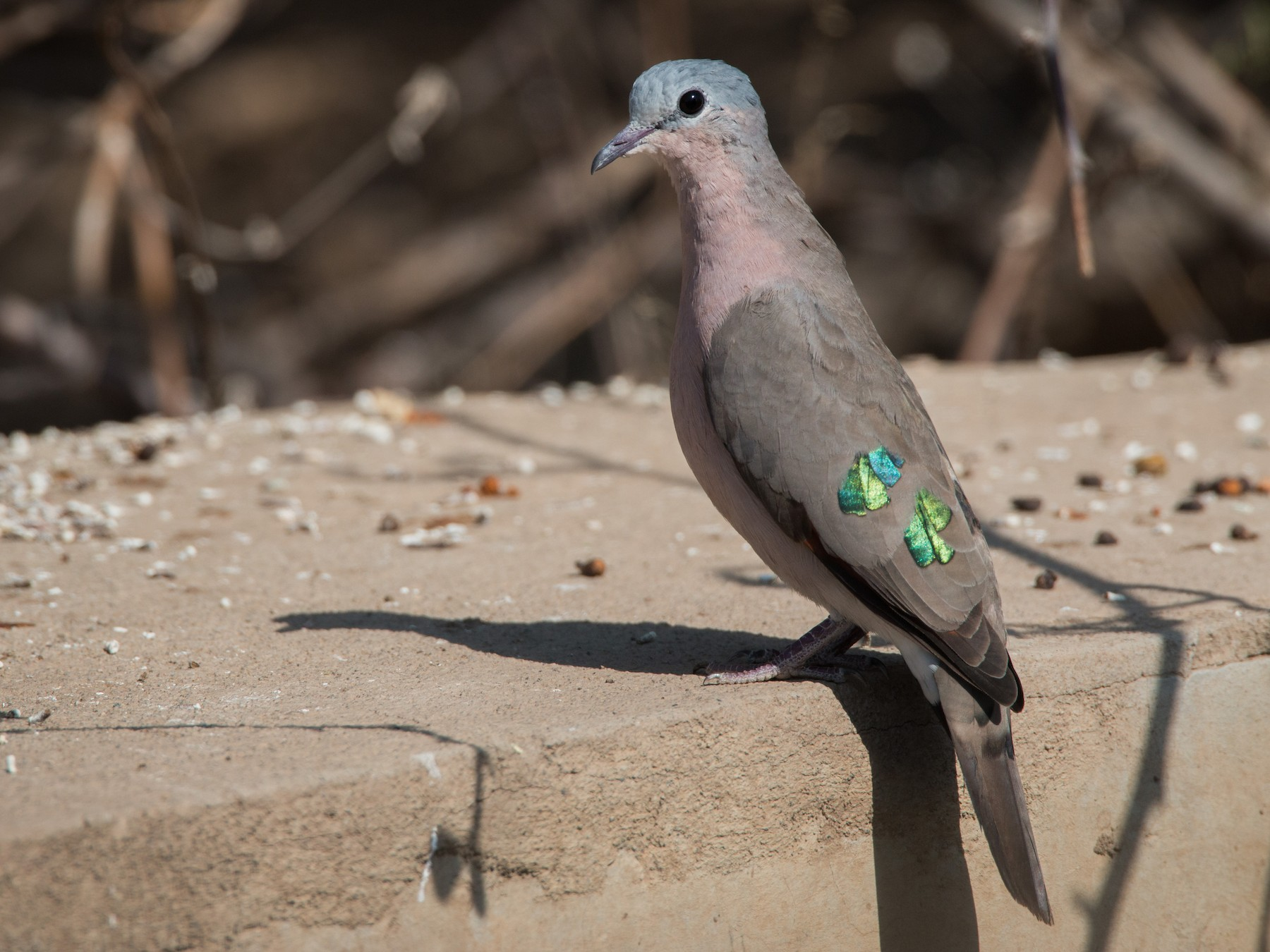 Emerald-spotted Wood-Dove - Ian Davies