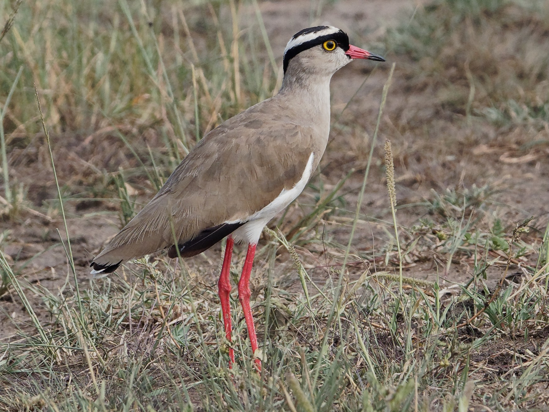 Crowned Lapwing - Vincent Wang