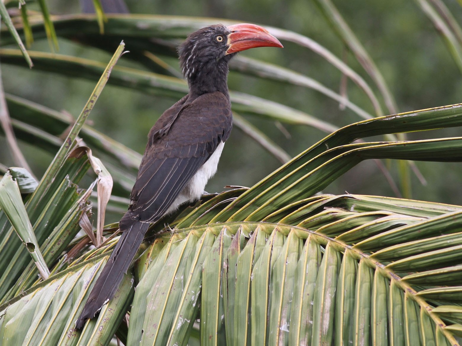 Crowned Hornbill - Anabel&Geoff Harries