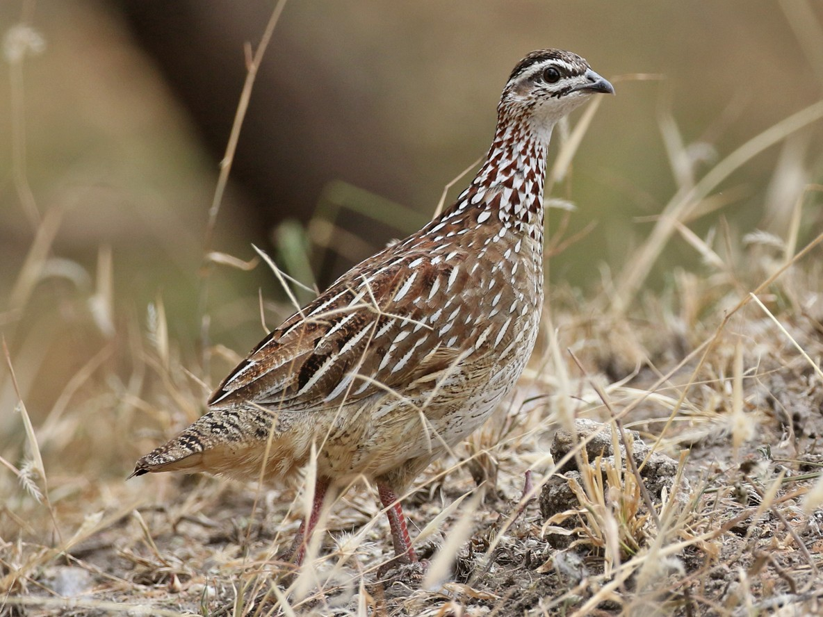 Crested Francolin - Charley Hesse TROPICAL BIRDING
