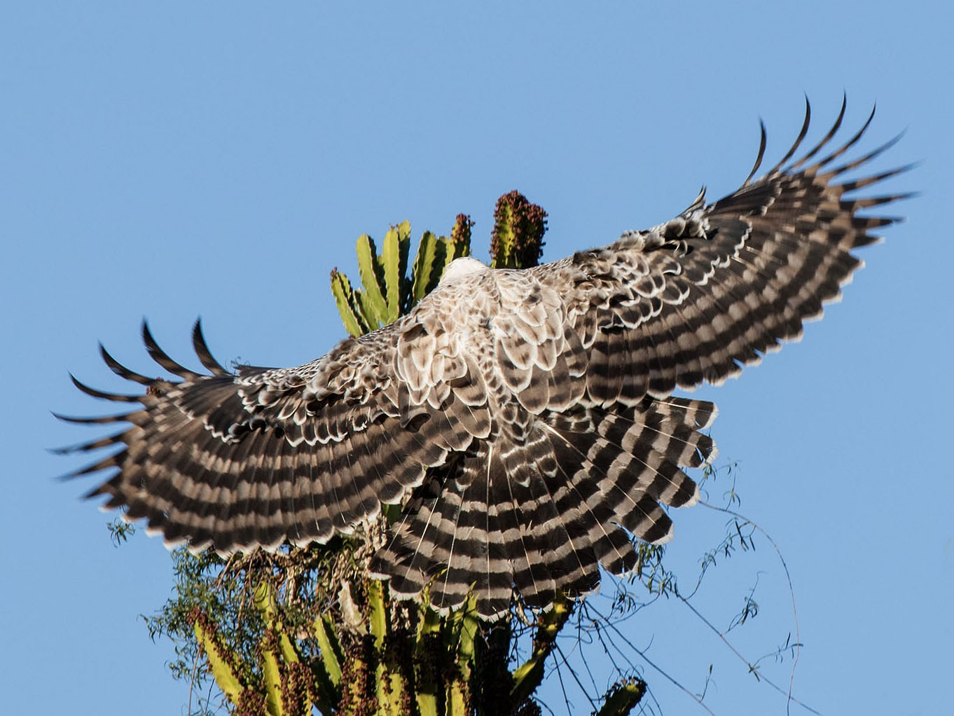 Crowned Eagle - Bruce Ward-Smith