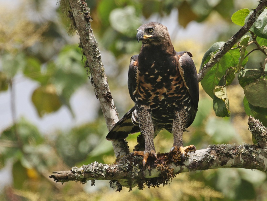 Crowned Eagle - Charley Hesse TROPICAL BIRDING