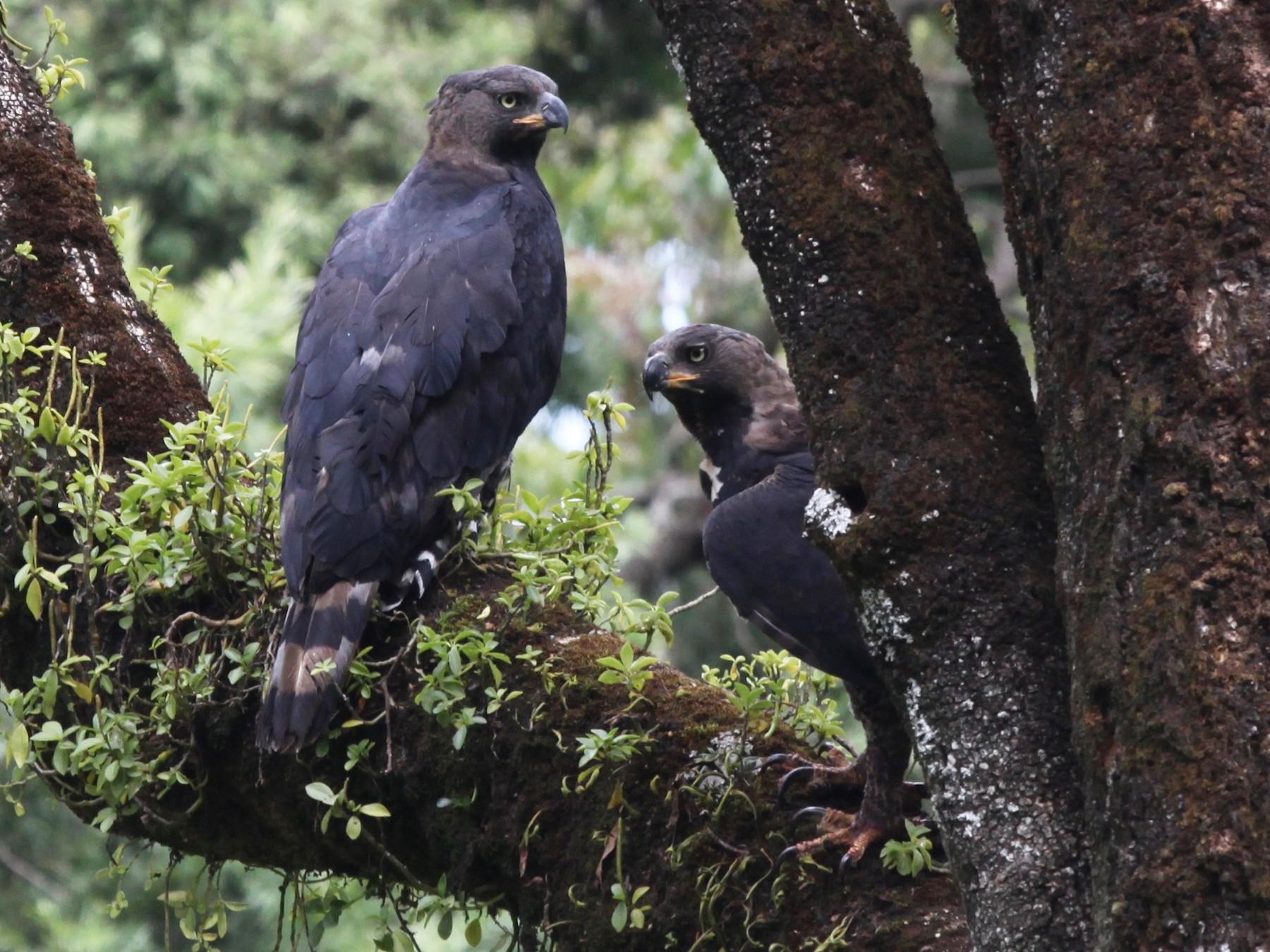 Crowned Eagle - Dan Rabosky