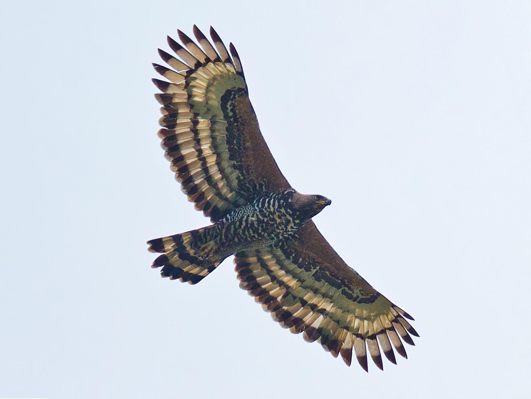 Crowned Eagle - Morten Venas