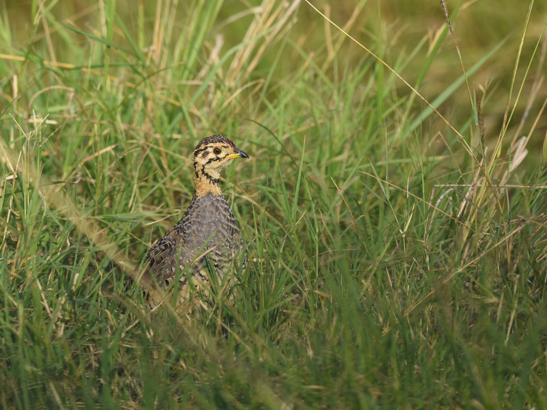 Coqui Francolin - Sze on Ng