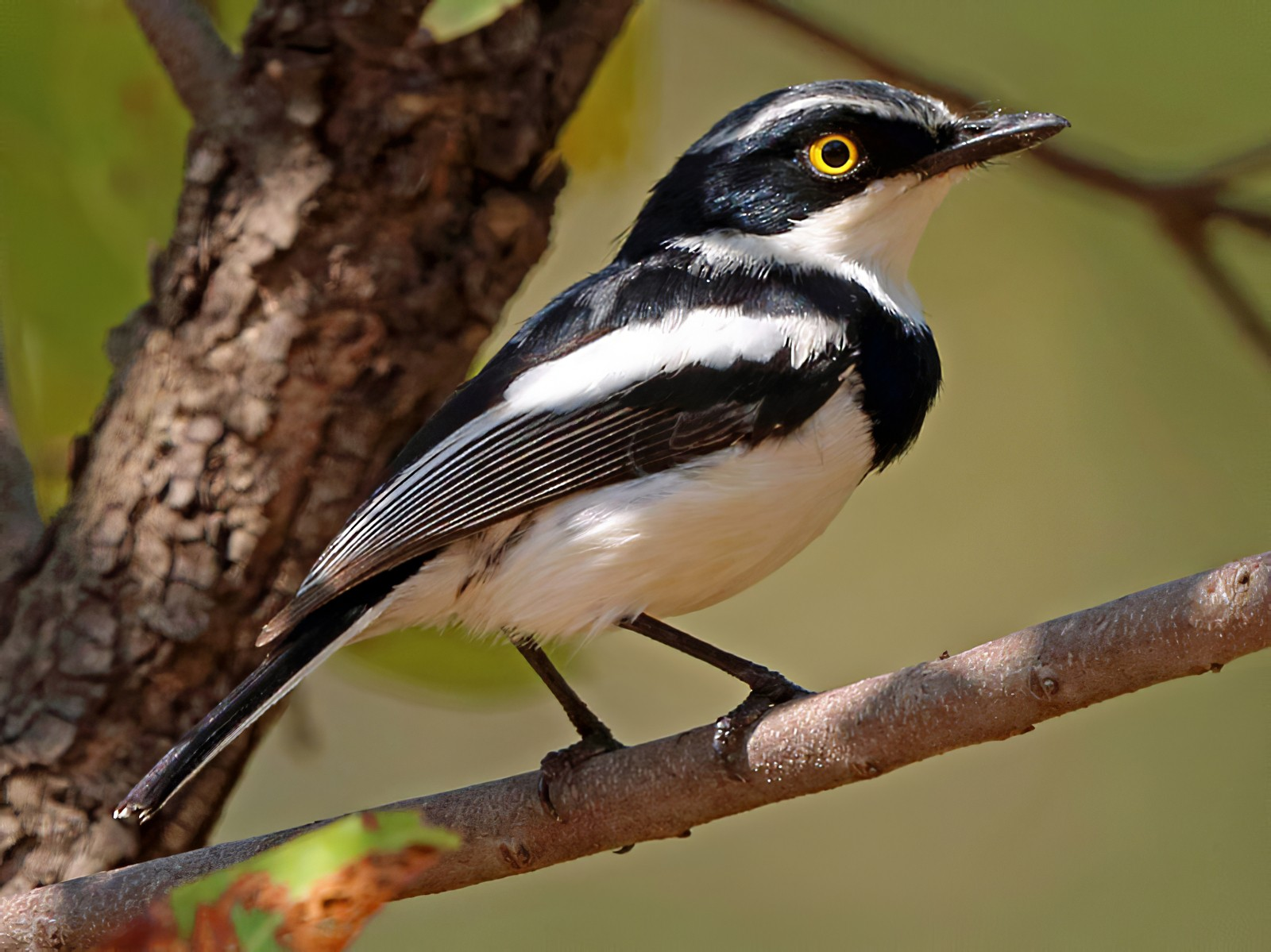 Chinspot Batis - Nigel Voaden