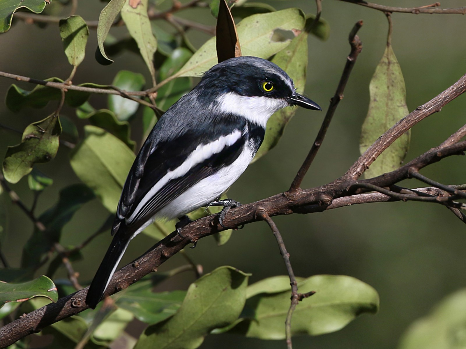 Chinspot Batis - Charley Hesse TROPICAL BIRDING