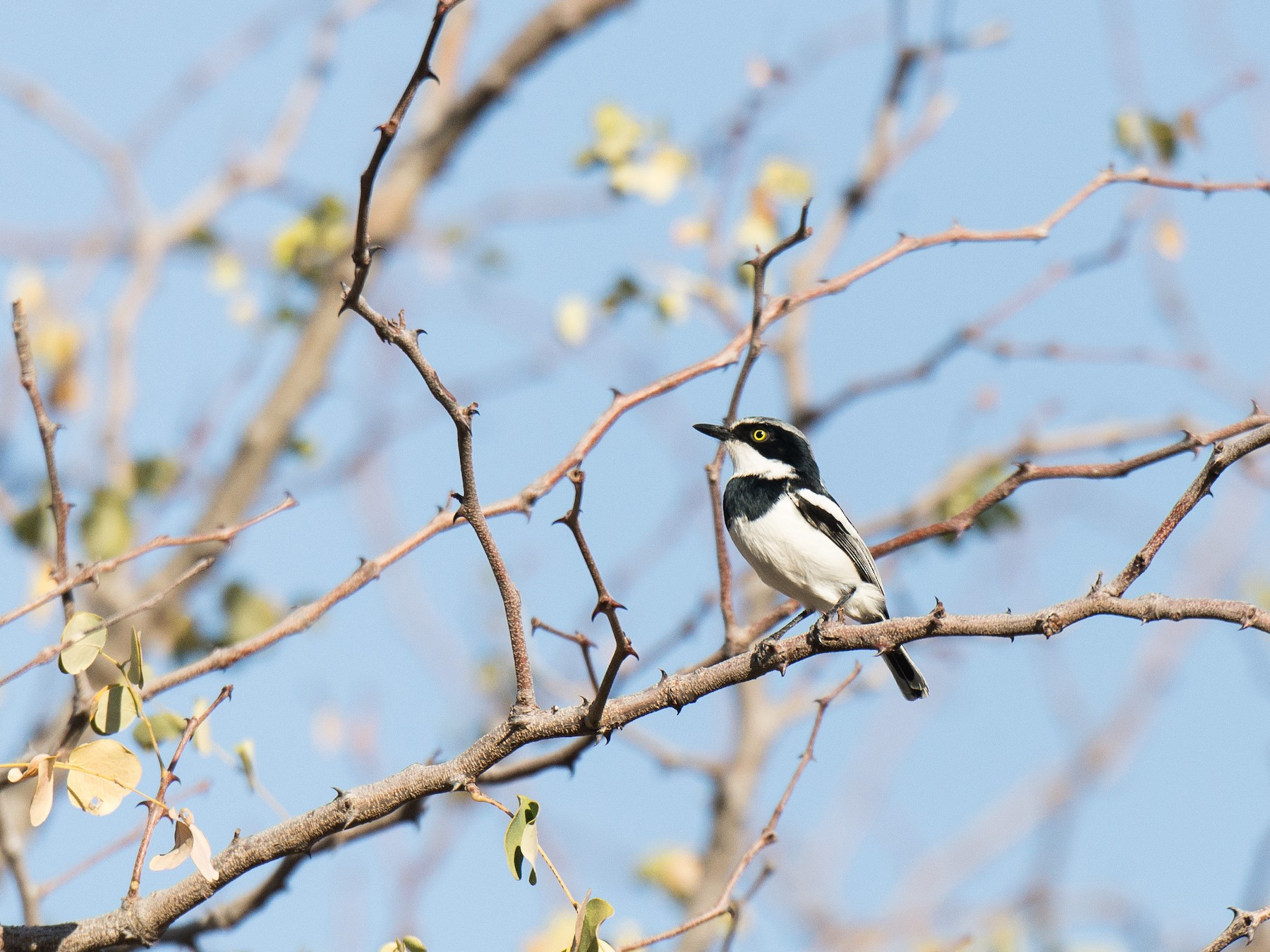 Chinspot Batis - Nige Hartley