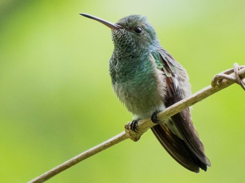 Blue-tailed Hummingbird - Chris Fischer