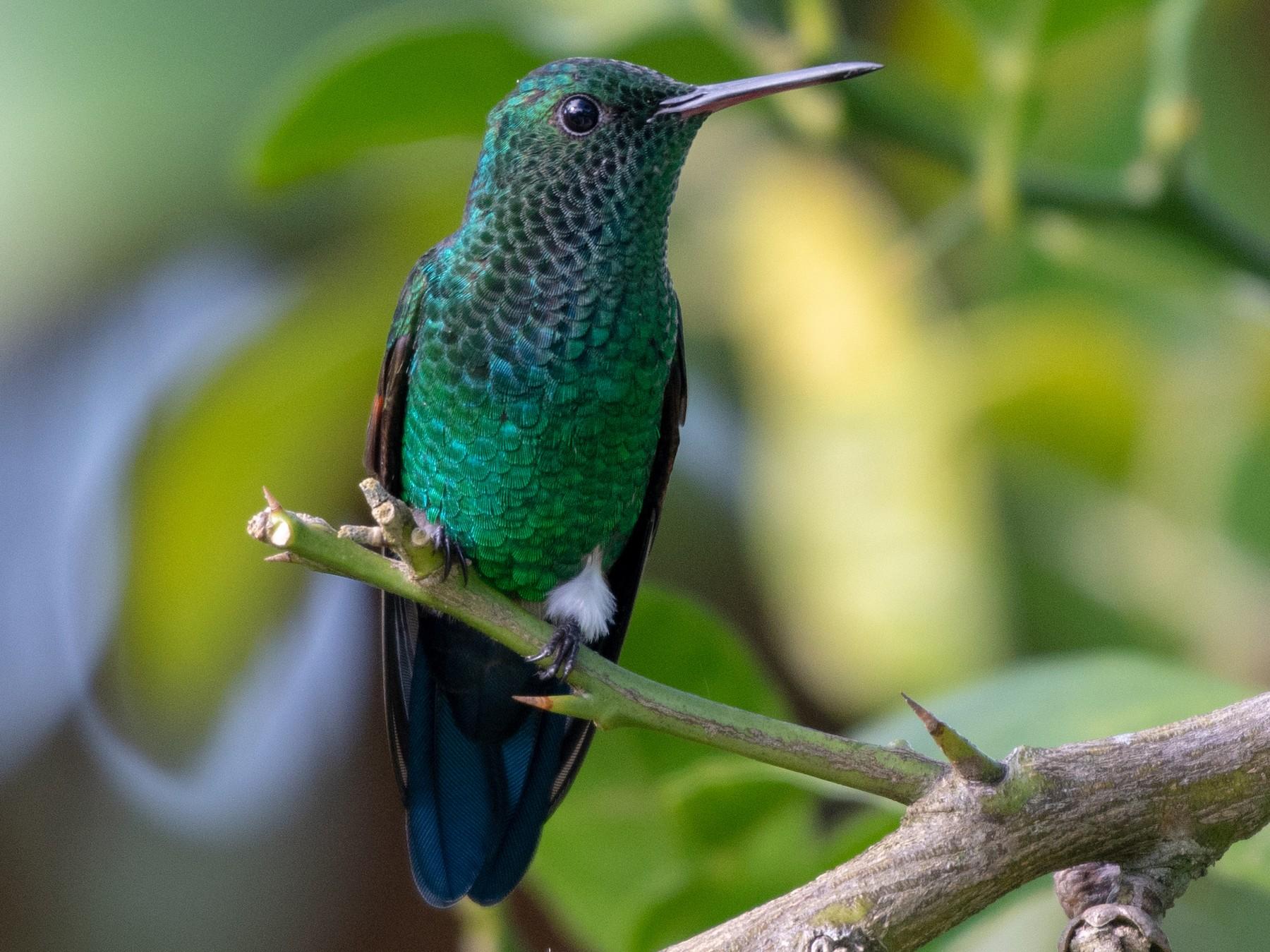 Blue-tailed Hummingbird - Ana Paula Oxom