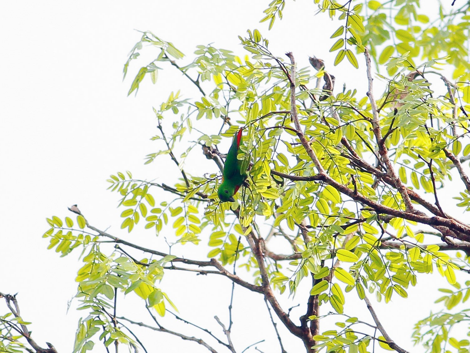 Blue-crowned Hanging-Parrot - Neoh Hor Kee
