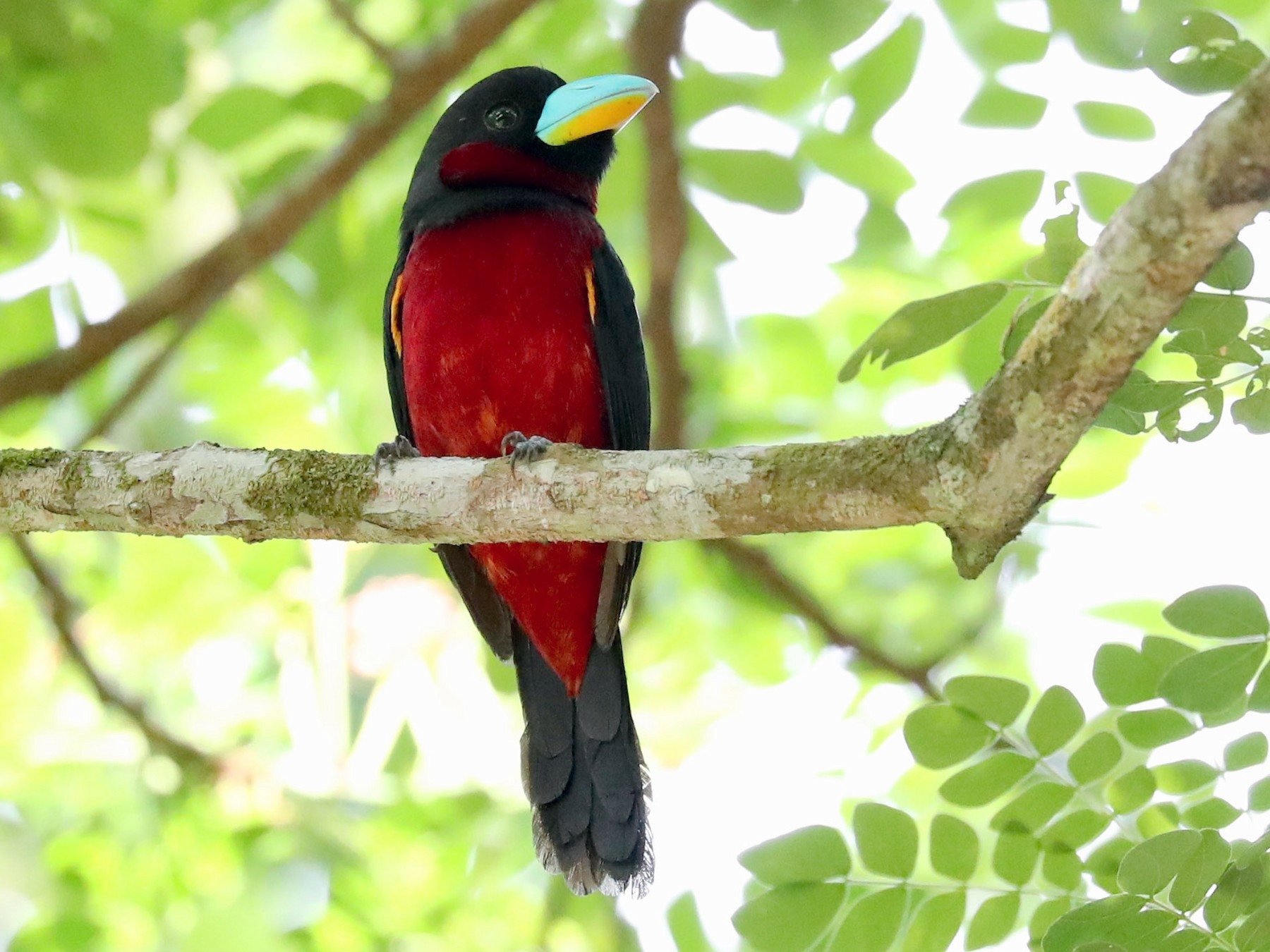 Black-and-red Broadbill - Ting-Wei (廷維) HUNG (洪)