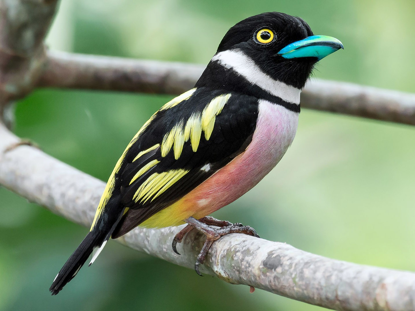 Black-and-yellow Broadbill - Natthaphat Chotjuckdikul