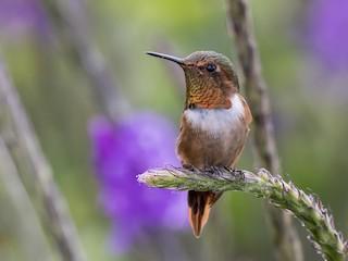 - Scintillant Hummingbird