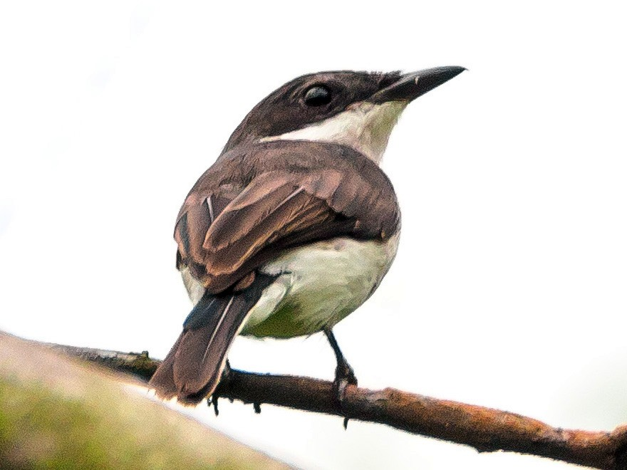 Black-winged Flycatcher-shrike - Karyne Wee