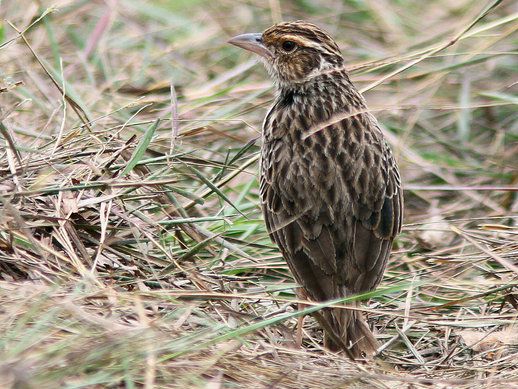 Indochinese Bushlark - Guy Poisson