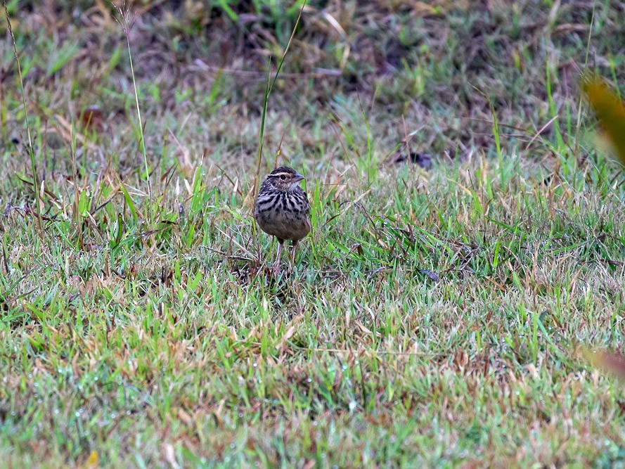 Indochinese Bushlark - Alex G.