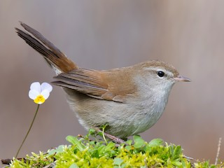 - Cetti's Warbler