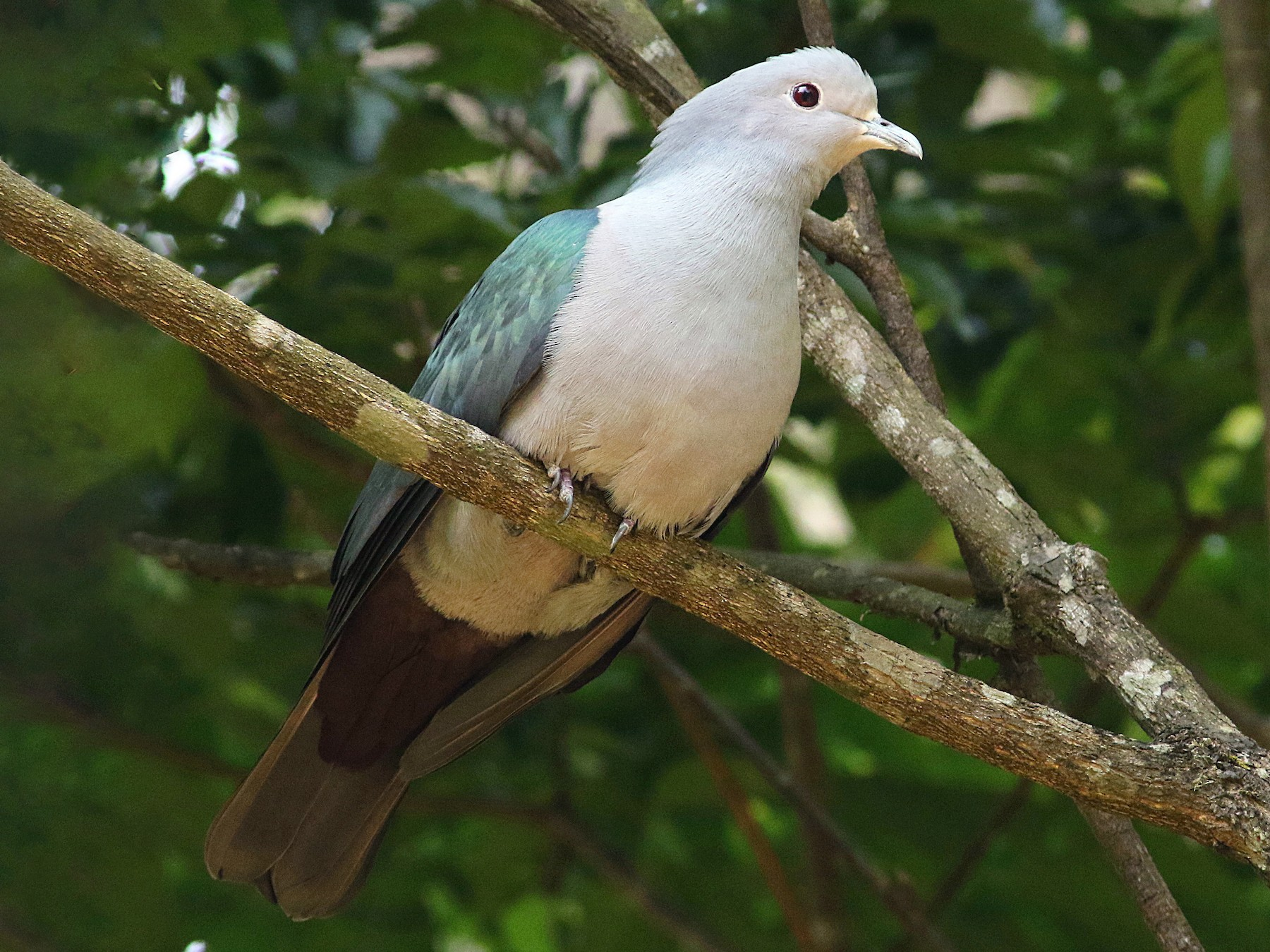 Green Imperial-Pigeon - abhijith a.p.c