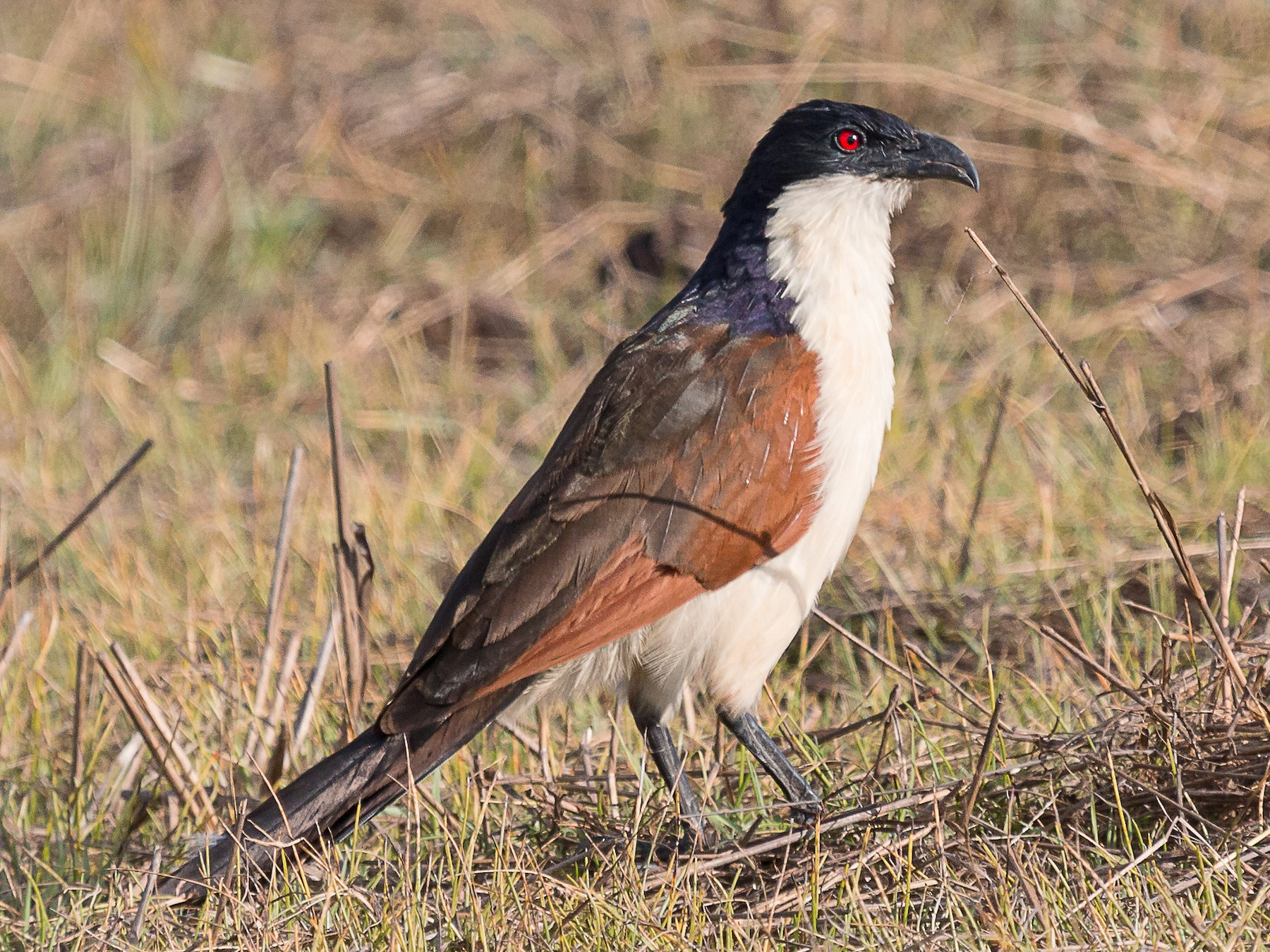 Coppery-tailed Coucal - Karin Coetzer