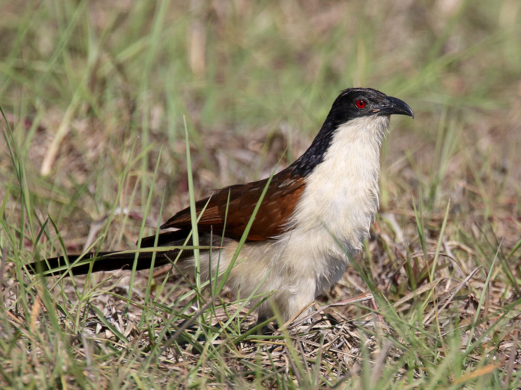 Coppery-tailed Coucal - Stephen Gast