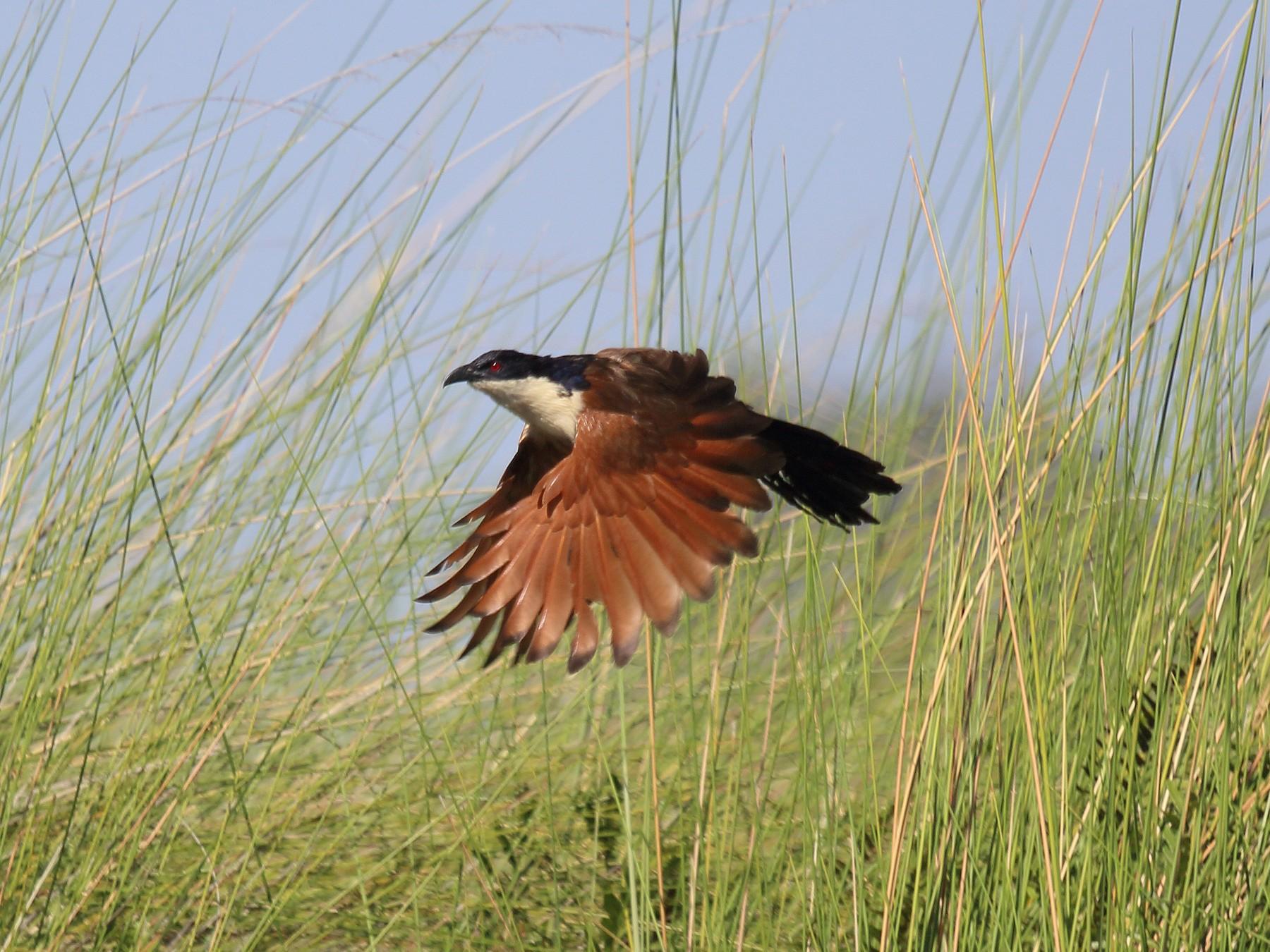 Coppery-tailed Coucal - Vicente Alvarado