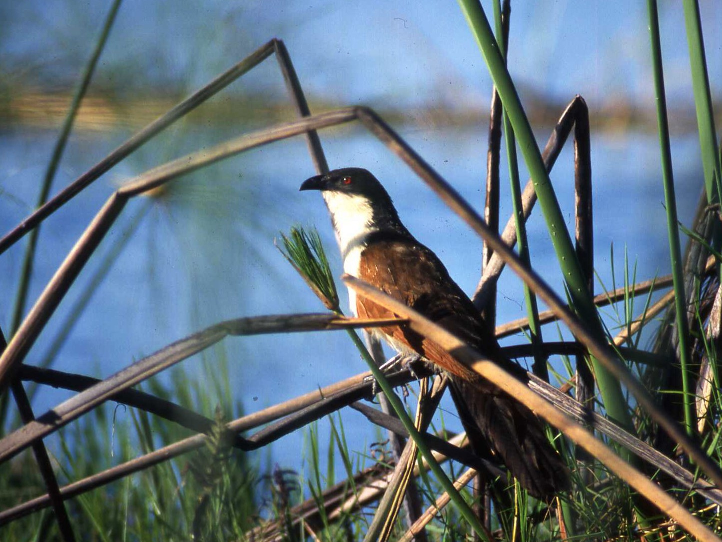 Coppery-tailed Coucal - Simon Tonge