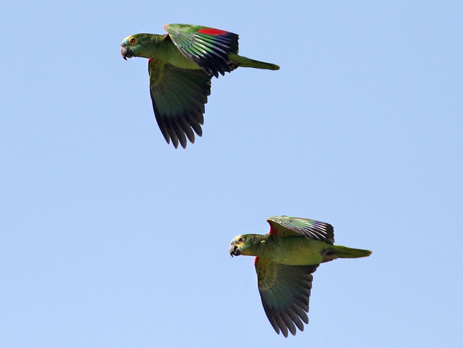 Turquoise-fronted Parrot - Charley Hesse TROPICAL BIRDING