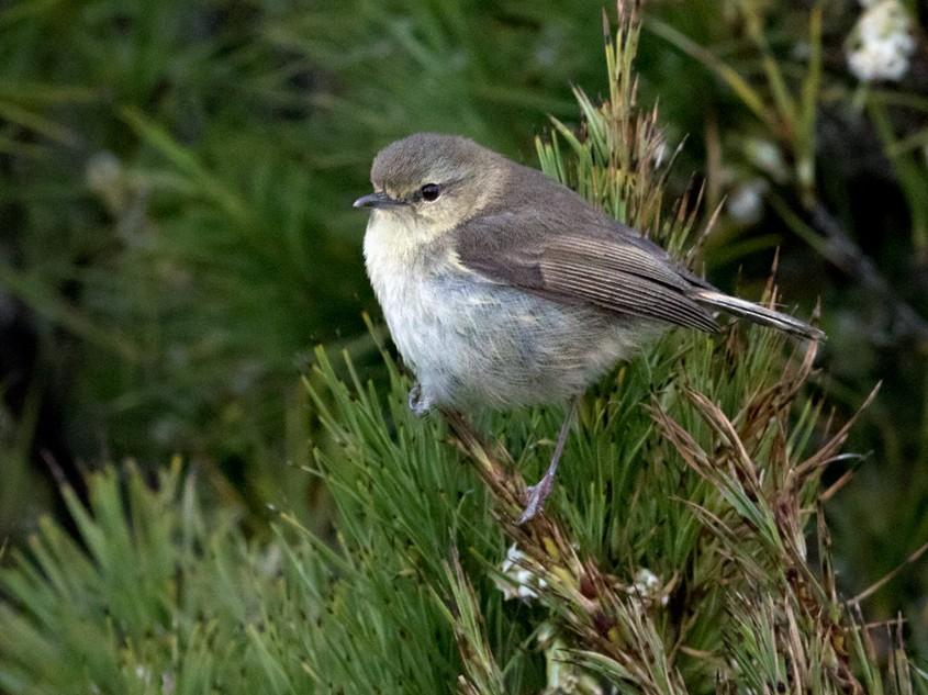 Chatham Island Gerygone - Lars Petersson