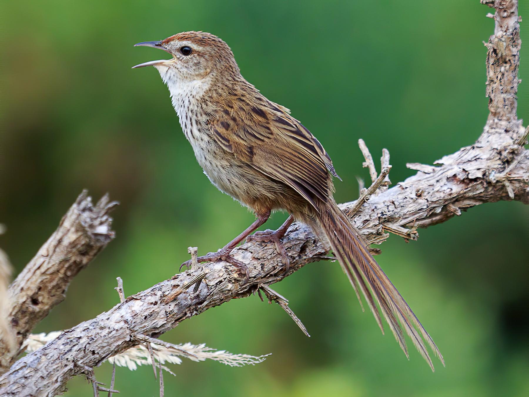 New Zealand Fernbird - Imogen Warren