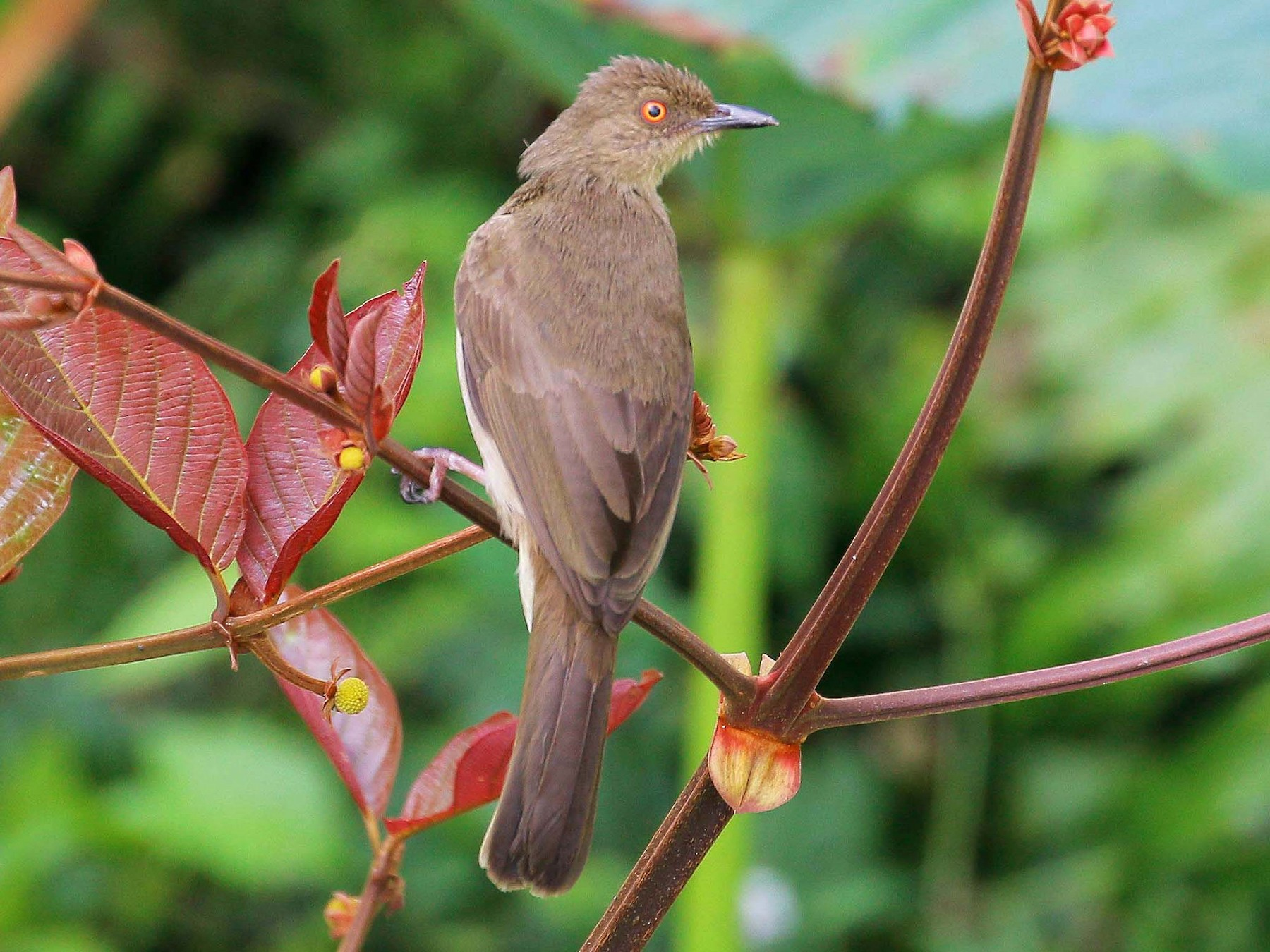 Red-eyed Bulbul - Neoh Hor Kee