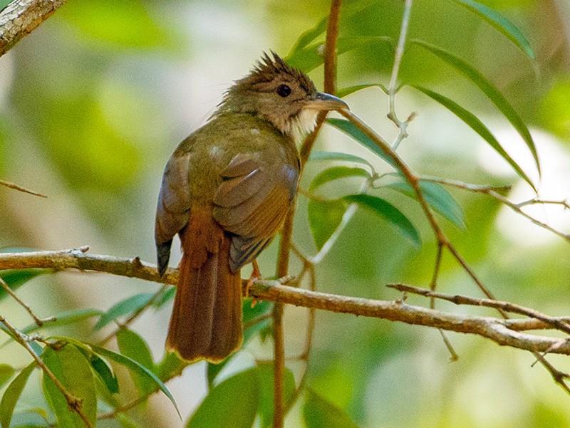 Gray-cheeked Bulbul - Andy Walker - Birding Ecotours