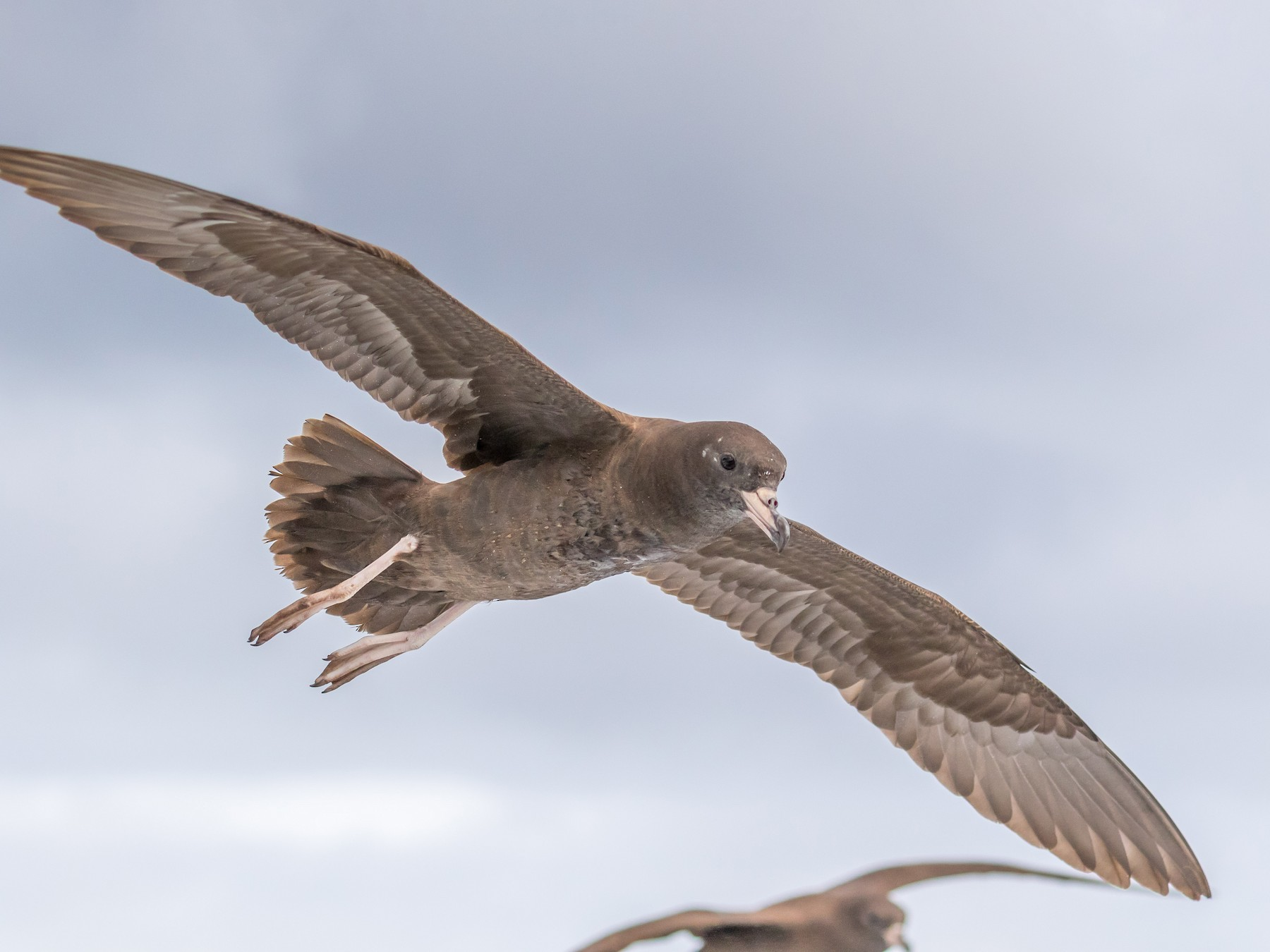 Flesh-footed Shearwater - Louise Summerhayes