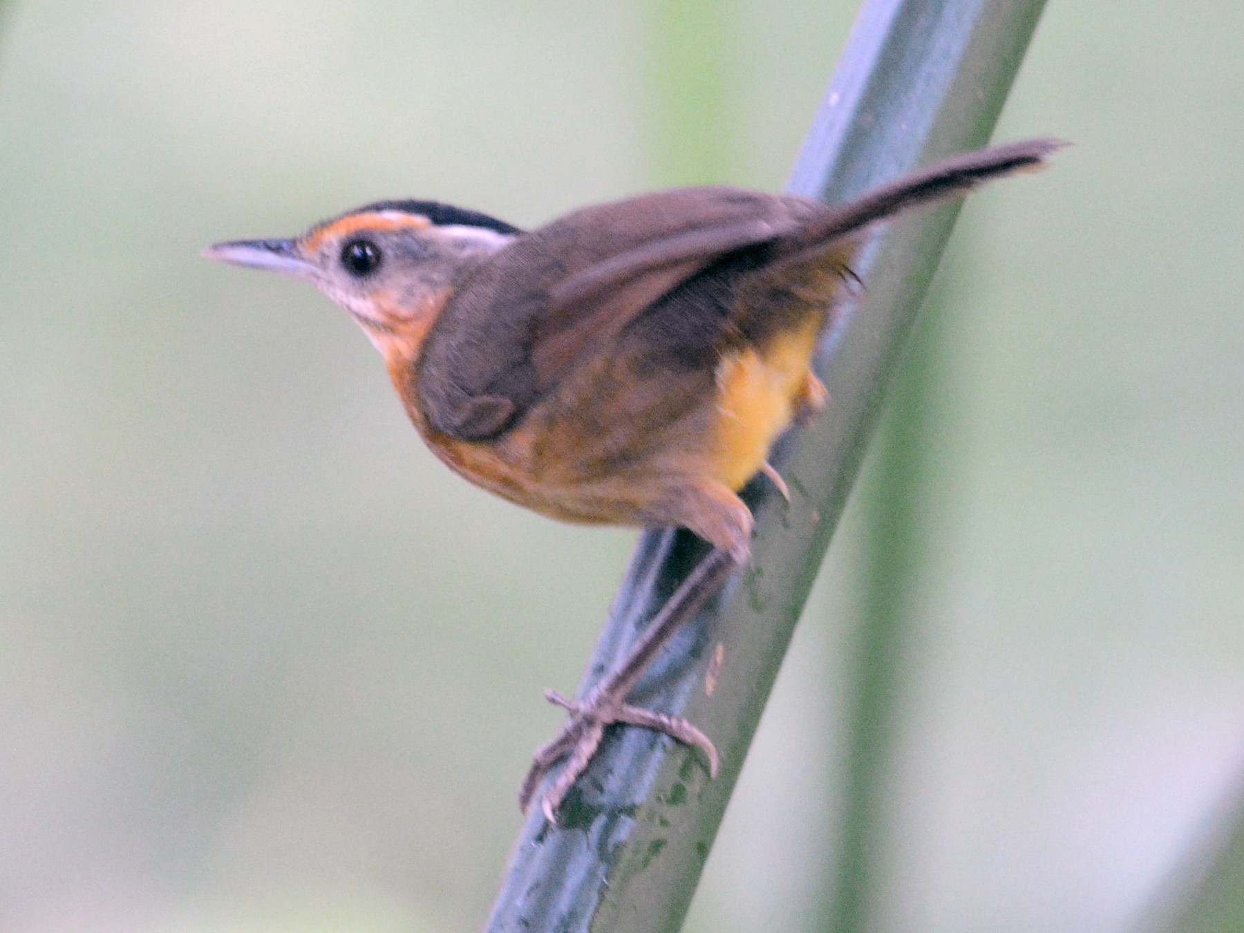 Black-capped Babbler - Ari Noviyono