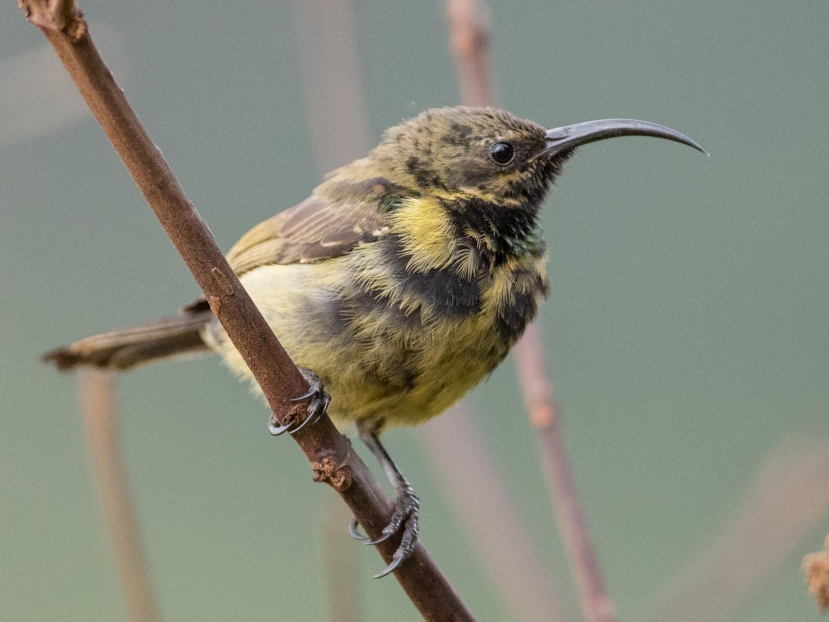 Bronze Sunbird - Ian Davies