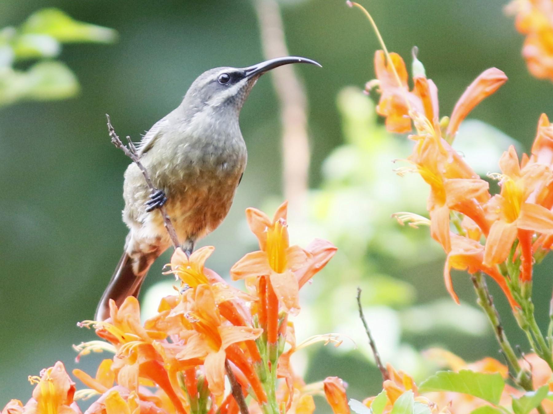 Bronze Sunbird - John Sullivan